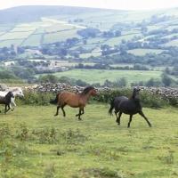 Picture of Dartmoor mares and foal  running on Dartmoor