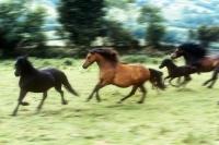 Picture of dartmoor ponies running