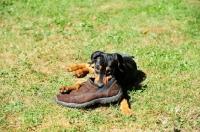 Picture of Deutscher Pinscher puppy chewing shoe