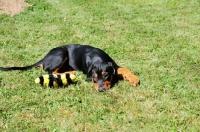 Picture of Deutscher Pinscher puppy resting with toy