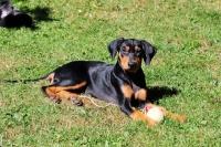 Picture of deutscher pinscher puppy with ball