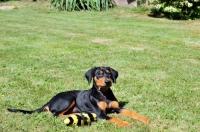 Picture of Deutscher Pinscher puppy with toy
