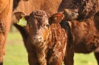 Picture of Devon calf