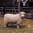 Picture of devon longwool ram