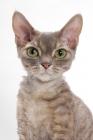 Picture of Devon Rex, Blue Mackerel Torbie, staring at camera