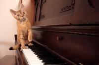 Picture of Devon Rex on piano
