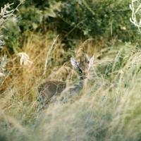 Picture of dik-dik in long grass samburu np