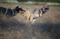 Picture of dobermann cross and czechoslovakian wolfdog cross playing in a field
