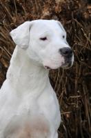 Picture of Dogo Argentino portrait