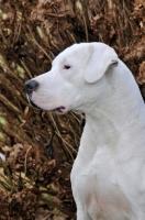 Picture of Dogo Argentino profile