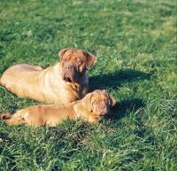 Picture of Dogue de Bordeaux bitch with puppy