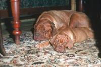 Picture of Dogue de Bordeaux bitch with puppy resting on carpet