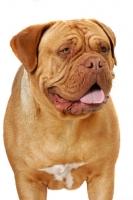 Picture of Dogue de Bordeaux, head study
