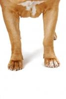 Picture of Dogue de Bordeaux legs