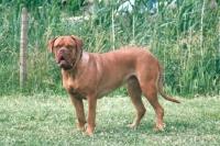 Picture of Dogue de Bordeaux on grass