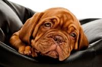 Picture of dogue de bordeaux pup on a black pillow