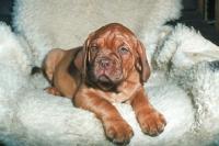 Picture of Dogue de Bordeaux puppy on sheepskin