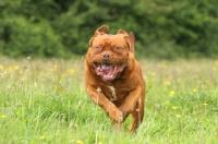 Picture of Dogue de Bordeaux running