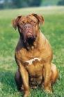 Picture of Dogue de Bordeaux sitting on grass