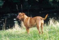 Picture of Dogue de Bordeaux standing at river bank