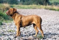 Picture of Dogue de Bordeaux standing on a stoney path