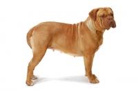 Picture of Dogue de Bordeaux standing posed