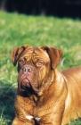 Picture of Dogue de Bordeaux