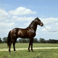 Picture of domino, lusitano stallion in portugal