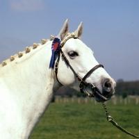 Picture of downland kestrel, welsh pony stallion (section b), head study