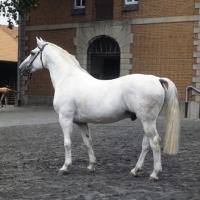 Picture of Duktus Hanoverian stallion at Celle