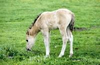 Picture of dulmen pony foal in merfelder bruch