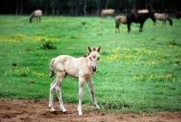 Picture of dulmen pony foal