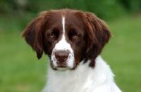 Picture of Dutch Partridge dog portrait