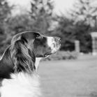 Picture of dutch partridge dog profile