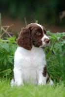Picture of Dutch Partridge dog, puppy
