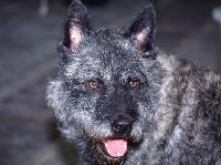 Picture of dutch shepherd dog portrait