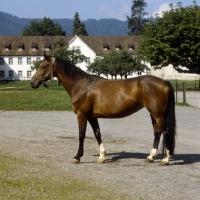 Picture of Einsiedler mare at Kloster Einsiedeln