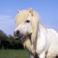 Picture of elderley shetland pony