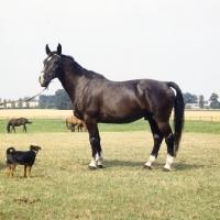 Picture of emir old type oldenburg gelding