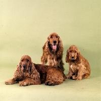 Picture of english cocker spaniel family in studio
