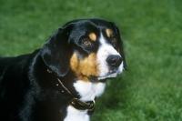 Picture of entelbucher sennenhund, head study