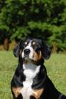 Picture of entlebucher sennenhund looking up