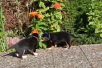 Picture of Entlebucher Sennenhund puppies exploring garden