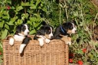 Picture of Entlebucher Sennenhund puppies
