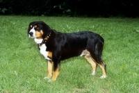 Picture of entlebucher sennenhund, side view