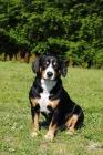 Picture of entlebucher sennenhund sitting