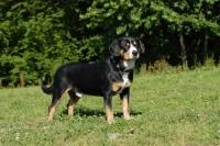 Picture of entlebucher sennenhund standing on grass