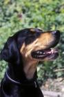 Picture of Erdelyi Kopov (aka transylvanian hound)
