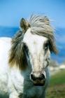 Picture of eriskay mare