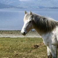 Picture of Eriskay Pony head study
